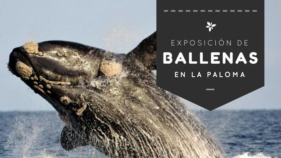 """Muestra fotográfica en La Paloma: """"Caudales, soplidos y saltos de la Ballena Franca Austral"""""""